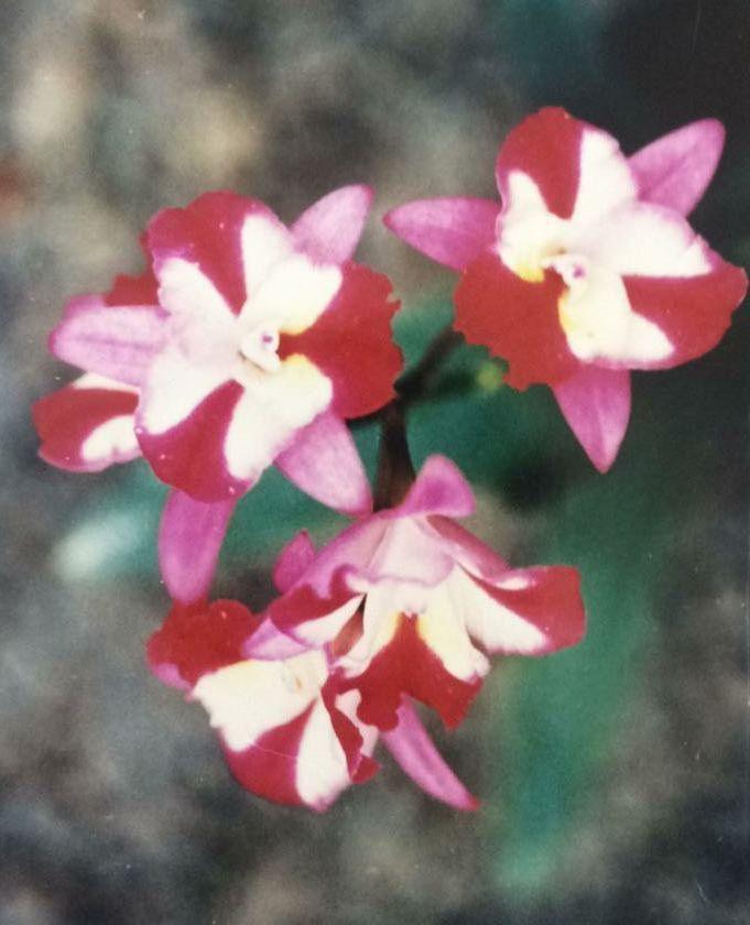 Muda de Orquídea espécie HKNSA Sogo Doll Litthe Angel MSR146