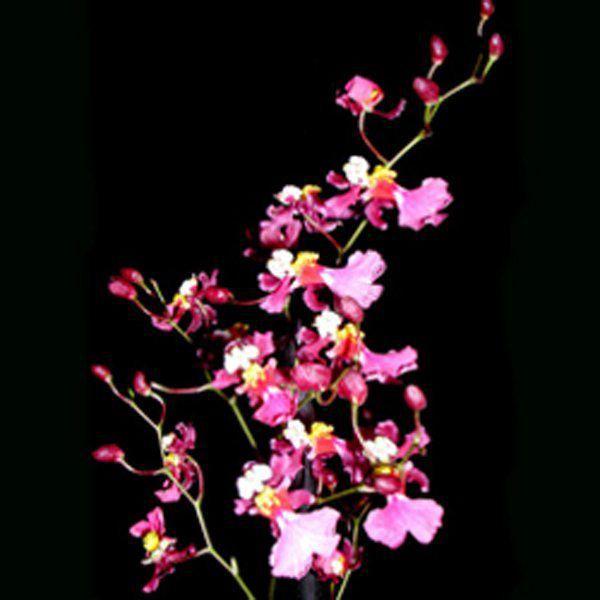 Muda de Orquídea Oncidium Kaiulani CO25-2