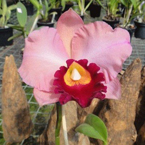 Muda de Orquídea Pot Amazon Anniversary 189-PA