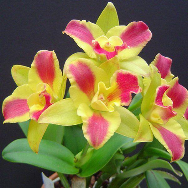 Muda de Orquídea Pot Burana Beauty Burana 003-PA