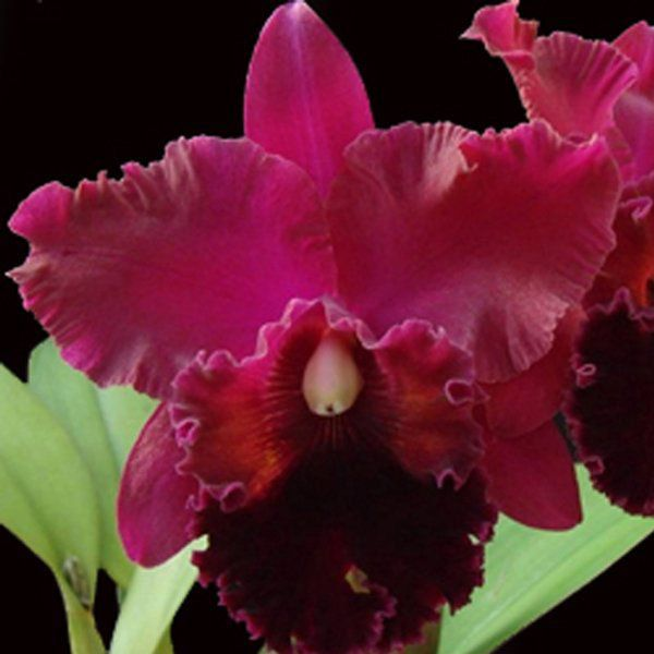 Muda de Orquídea Pot. Exotic Dream N1 x Blc. Oconee Mendenhall x Pot Sally Taylor Red x C. Horace 8194-1