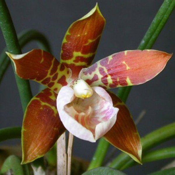 Muda de Orquídea Scuticaria hadwenii ESP-195-1