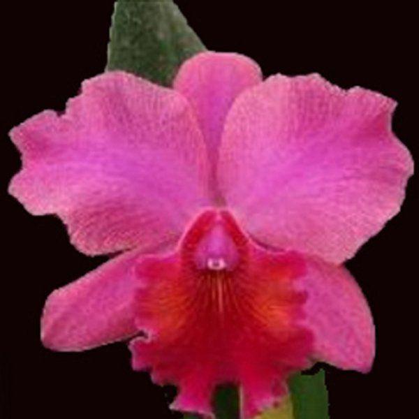 Muda de Orquídea Slc Jewelers Art Tiasa 634-2