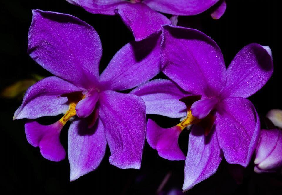 Muda de Orquídea Spatoglotis Plicata