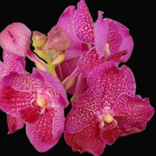 Muda de Orquídea Vanda Dr. Anek VA007-PA