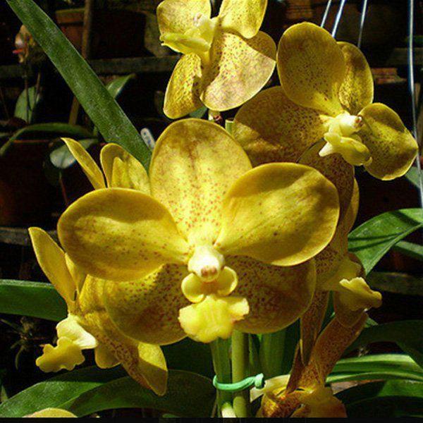 Muda de Orquídea Vanda Kultana Gold x Srivirat Gold VA090-2