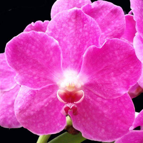 Muda de Orquídea Vanda Ratchaburi Funk Katsura VA093-1