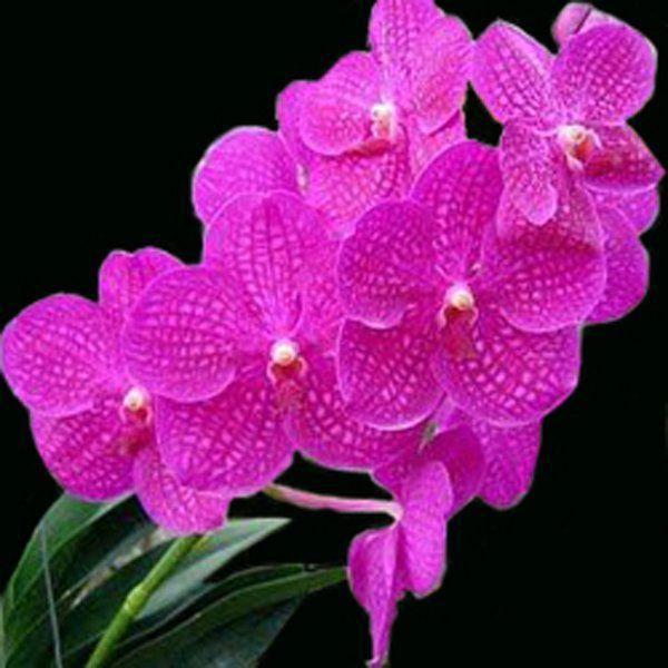 Muda de Orquídea Vanda Siriporn VA088-PA