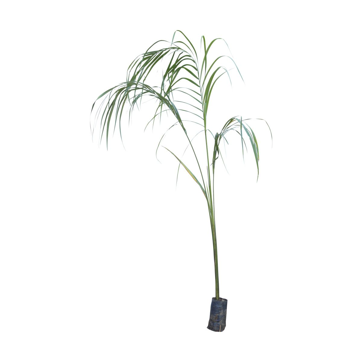 Muda de Palmeira Imperial feita de semente