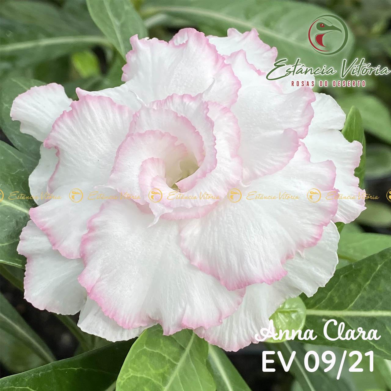 Muda de Rosa do Deserto Anna Clara EV-00921