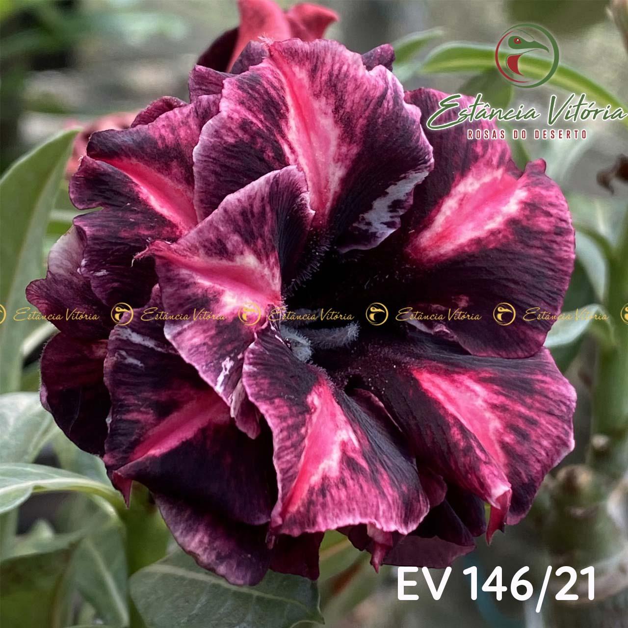 Muda de Rosa do Deserto Babalu EV-14621