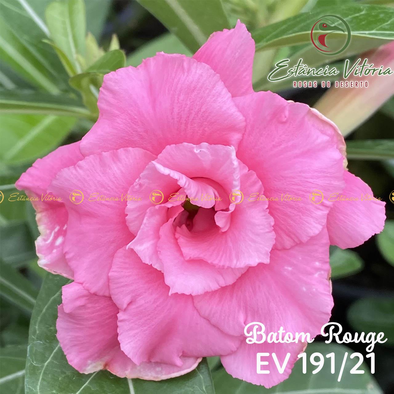 Muda de Rosa do Deserto Batom Rouge EV-19121