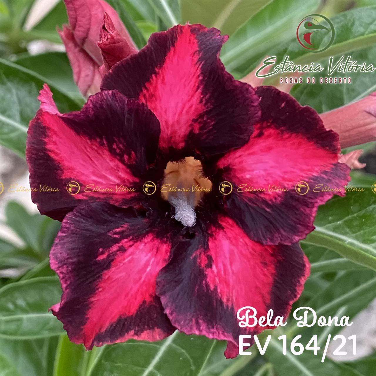 Muda de Rosa do Deserto Bela Dona EV-16421