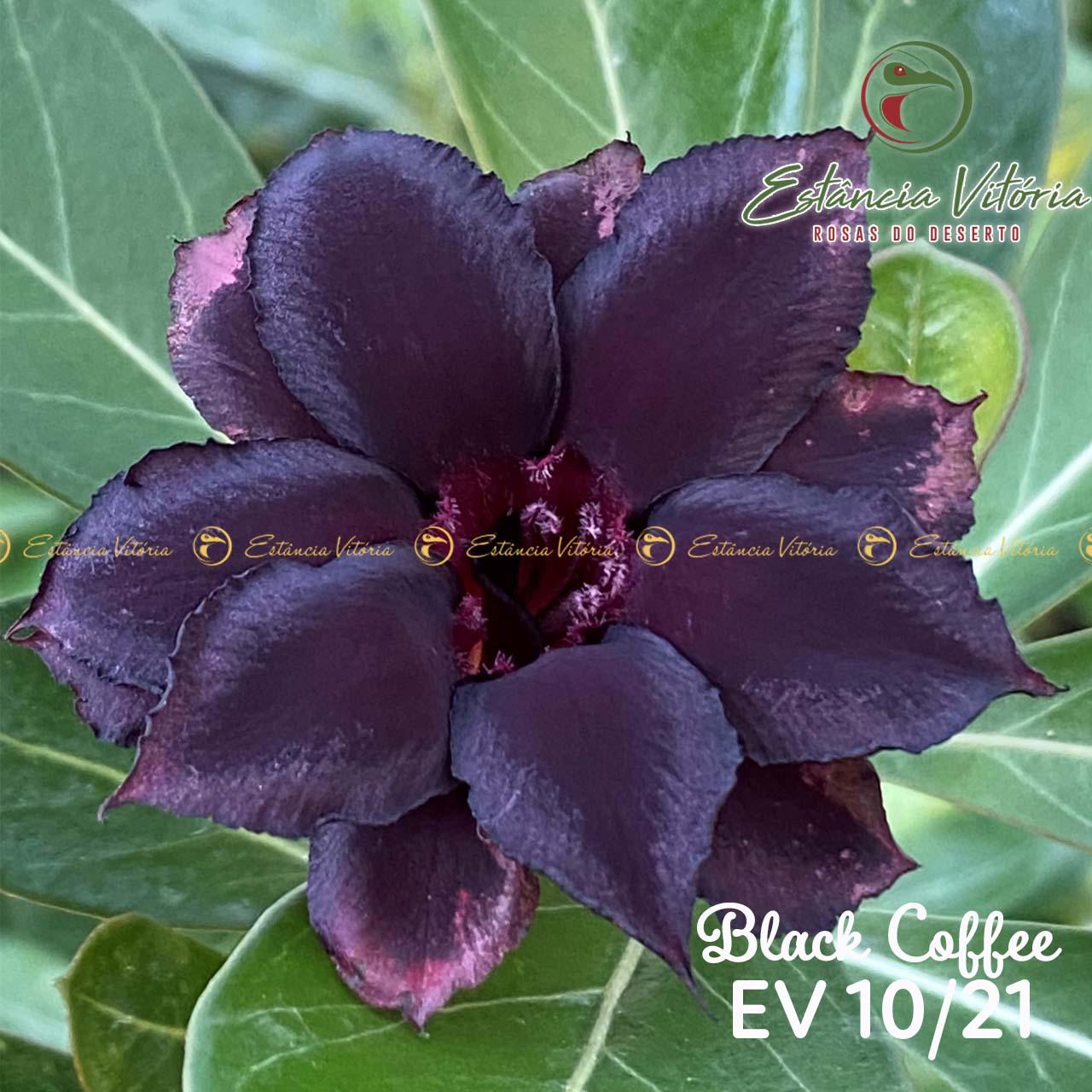 Muda de Rosa do Deserto Black Coffee EV-01021