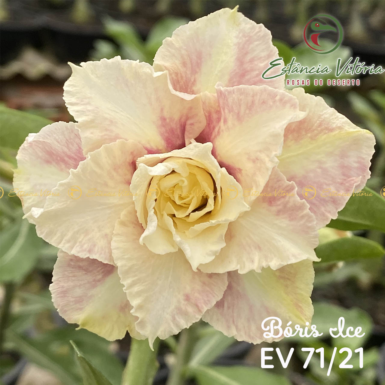 Muda de Rosa do Deserto Bóris Ice EV-07121