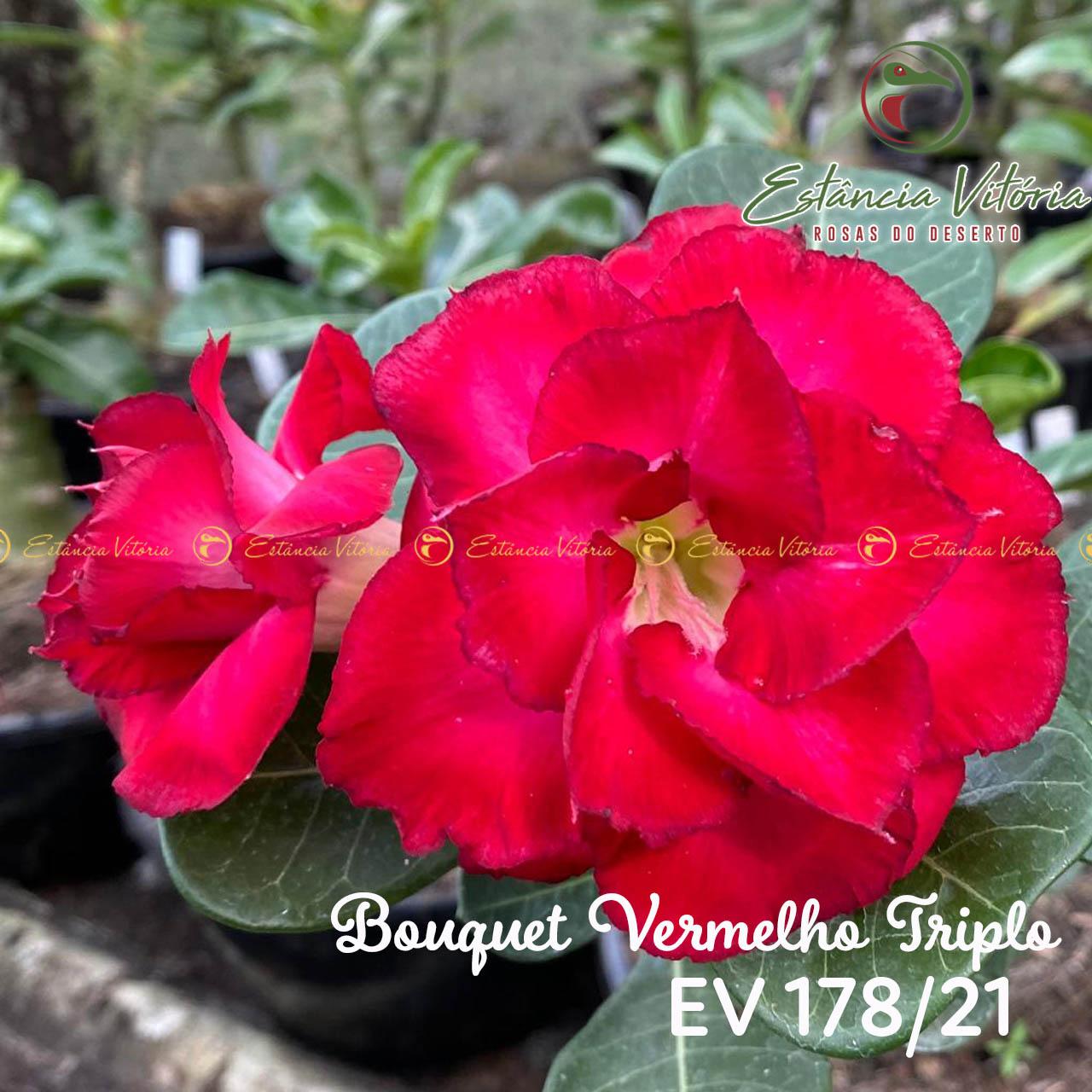 Muda de Rosa do Deserto Bouquet Vermelho Triplo EV-17821