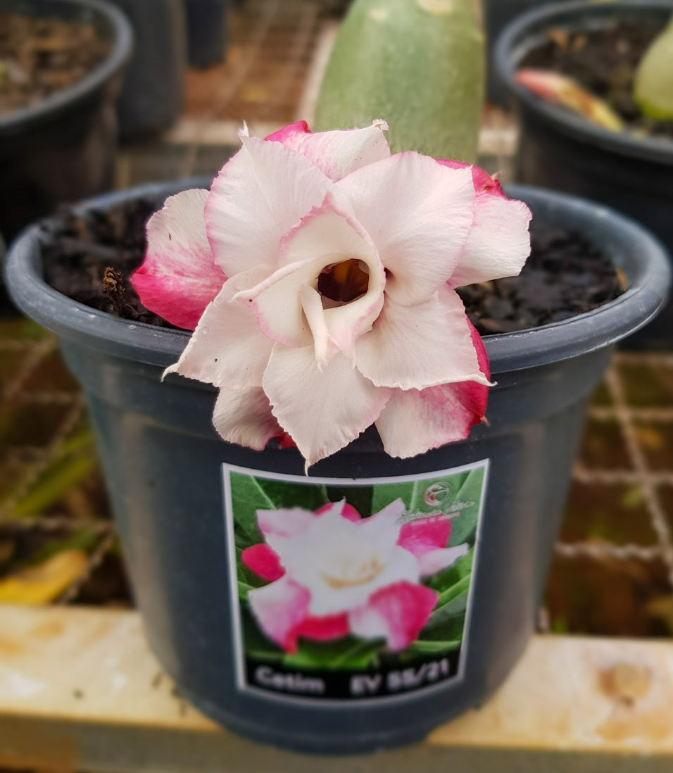 Muda de Rosa do Deserto Cetim EV-05521