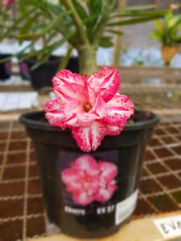 Muda de Rosa do Deserto Cherry EV-37