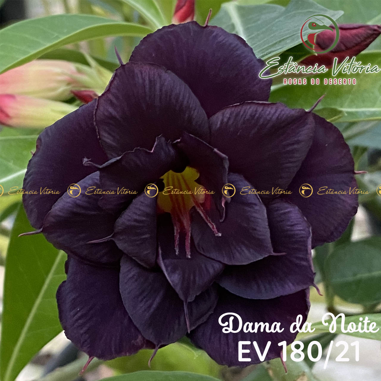 Muda de Rosa do Deserto Dama da Noite EV-18021