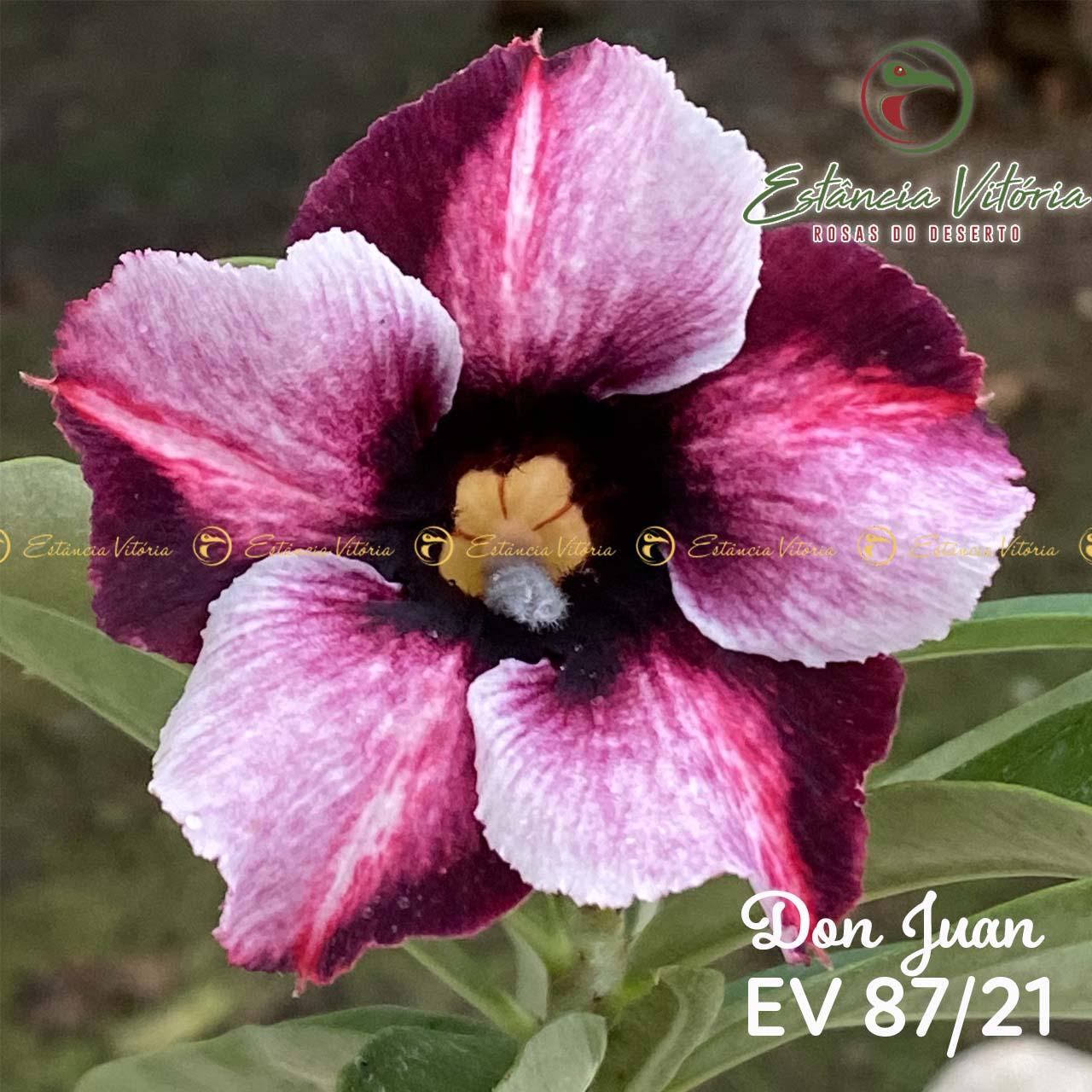Muda de Rosa do Deserto Don Juan EV-08721