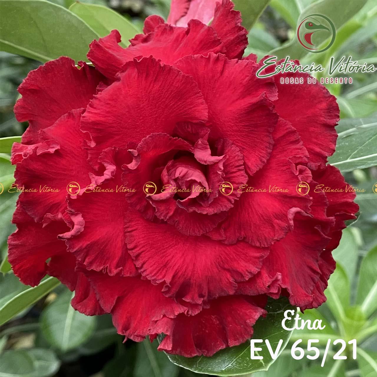 Muda de Rosa do Deserto Etna EV-06521