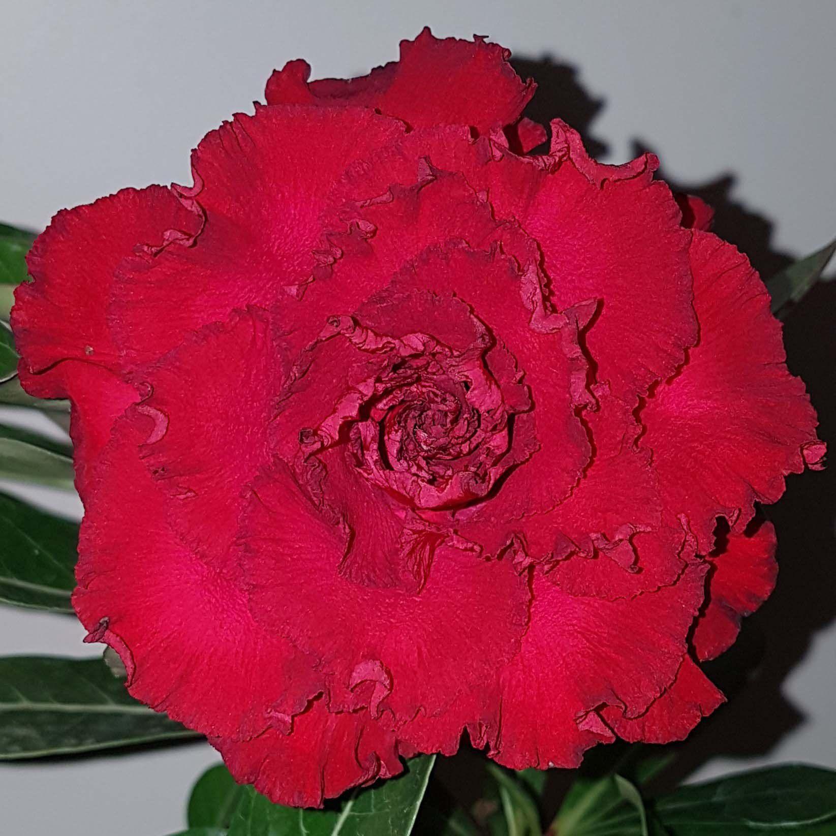 Muda de Rosa do Deserto Etna EV-65