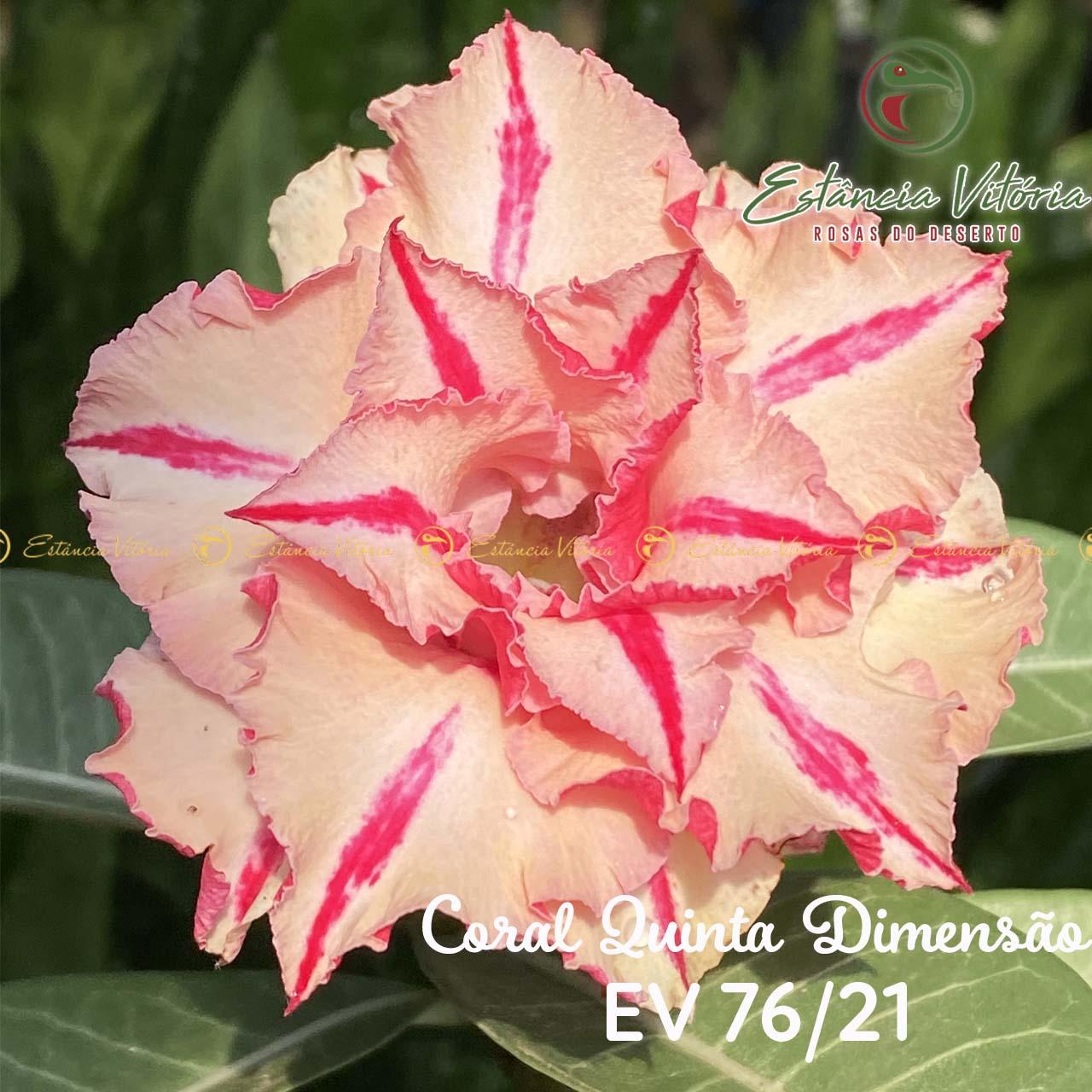 Muda de Rosa do Deserto EV-07621