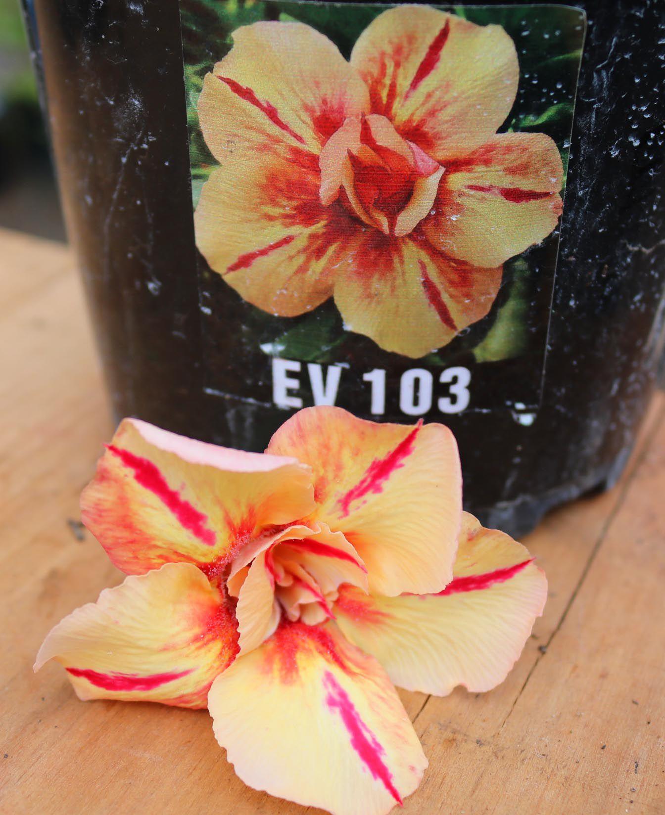 Muda de Rosa do Deserto EV-103