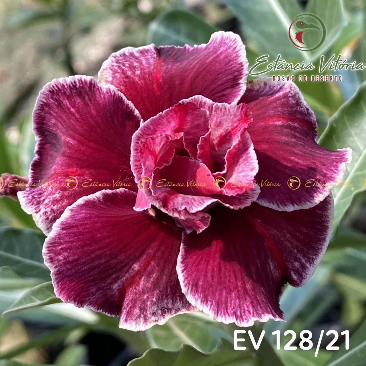 Muda de Rosa do Deserto EV-12821