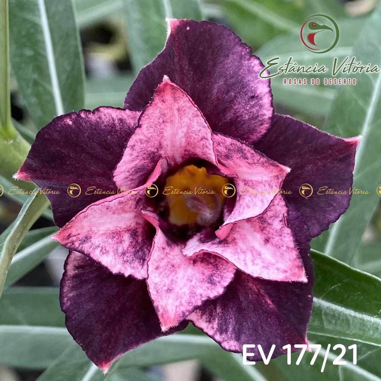 Muda de Rosa do Deserto EV-17721