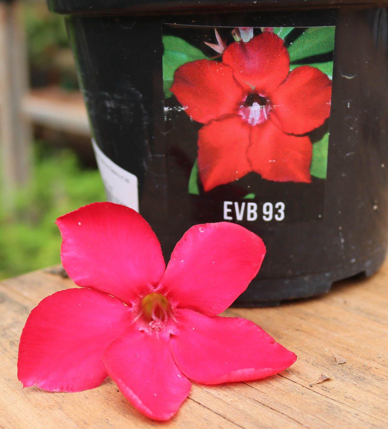 Muda de Rosa do Deserto EVB-093
