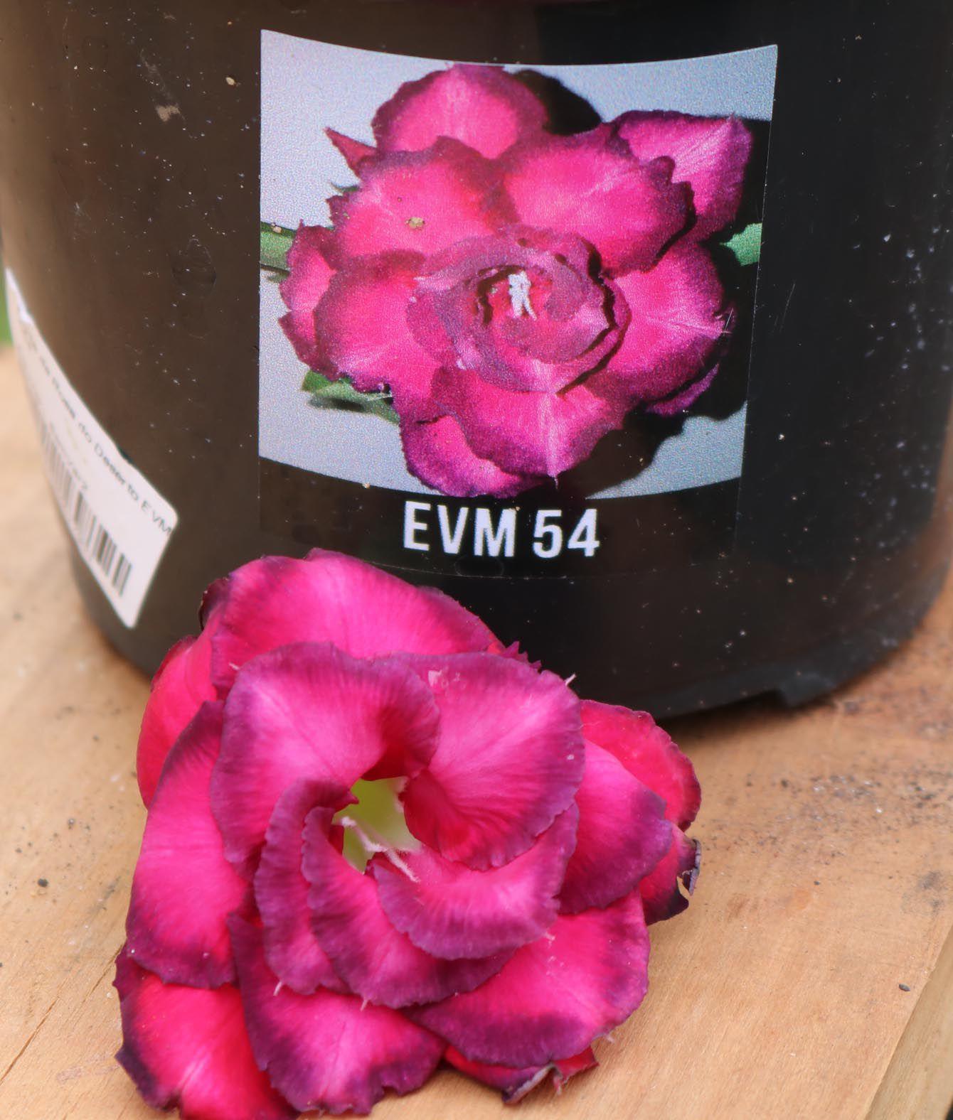 Muda de Rosa do Deserto EVM-054