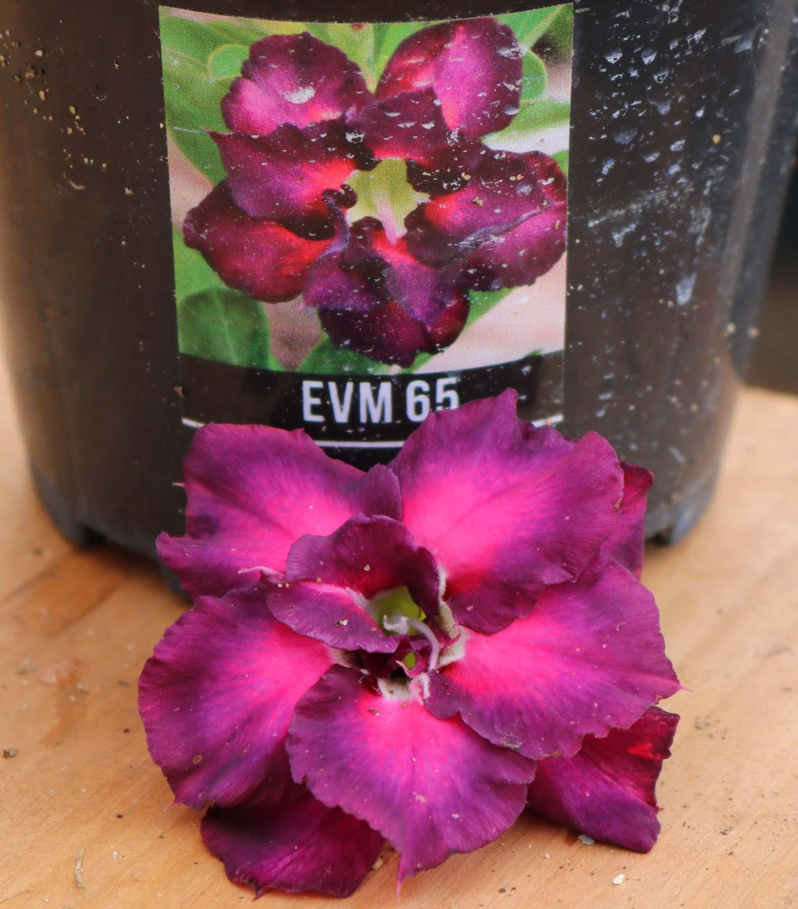 Muda de Rosa do Deserto EVM-065