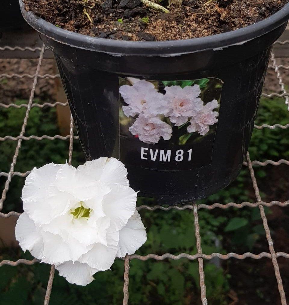 Muda de Rosa do Deserto EVM-081