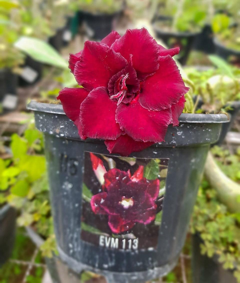 Muda de Rosa do Deserto EVM-113