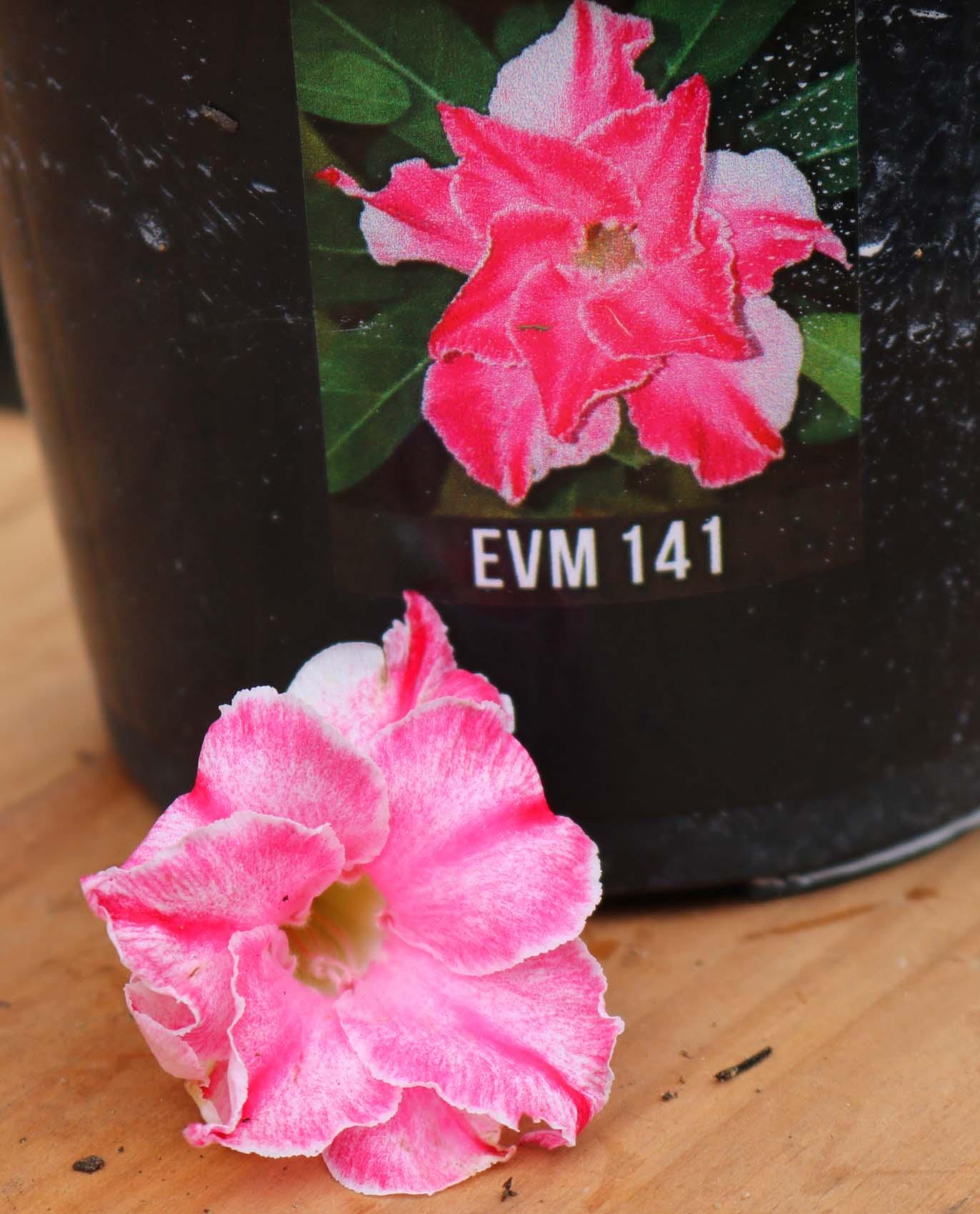 Muda de Rosa do Deserto EVM-141