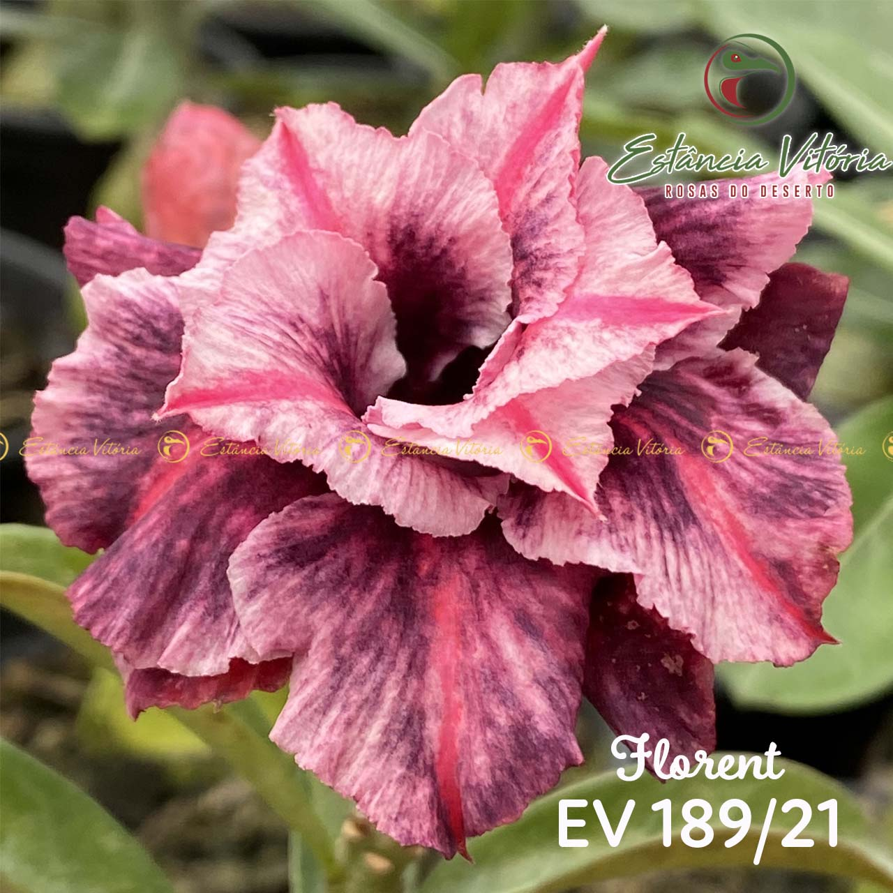 Muda de Rosa do Deserto Florent EV-18921