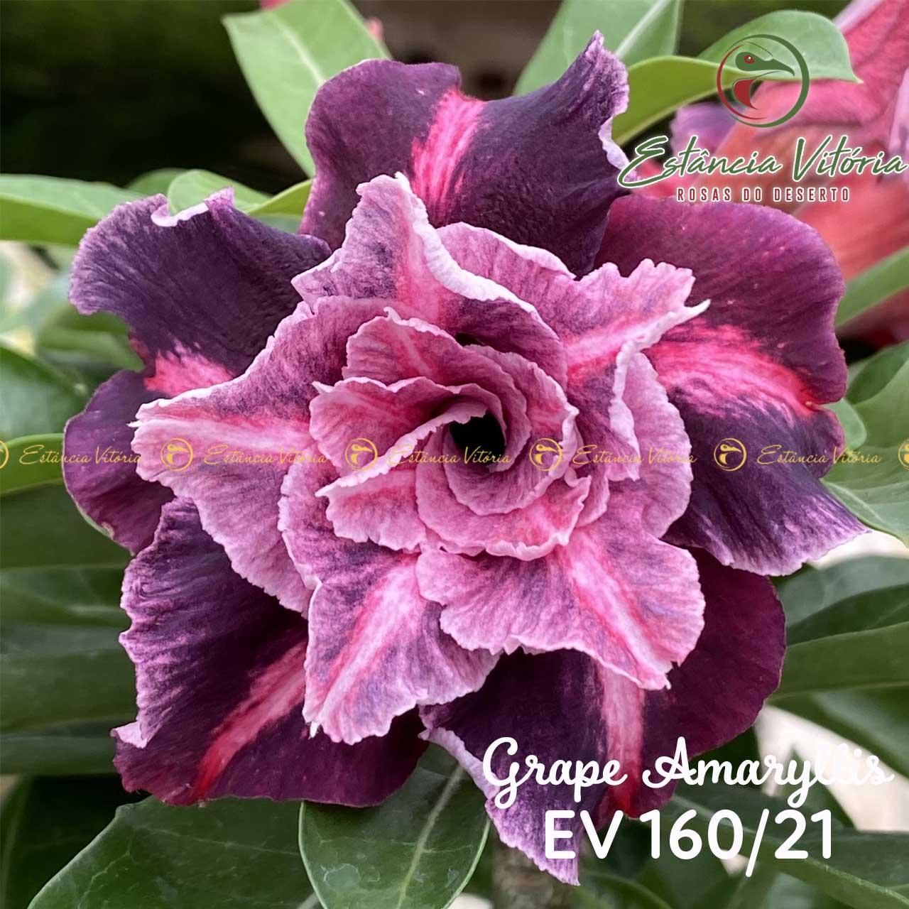 Muda de Rosa do Deserto Grape Amaryllis EV-16021