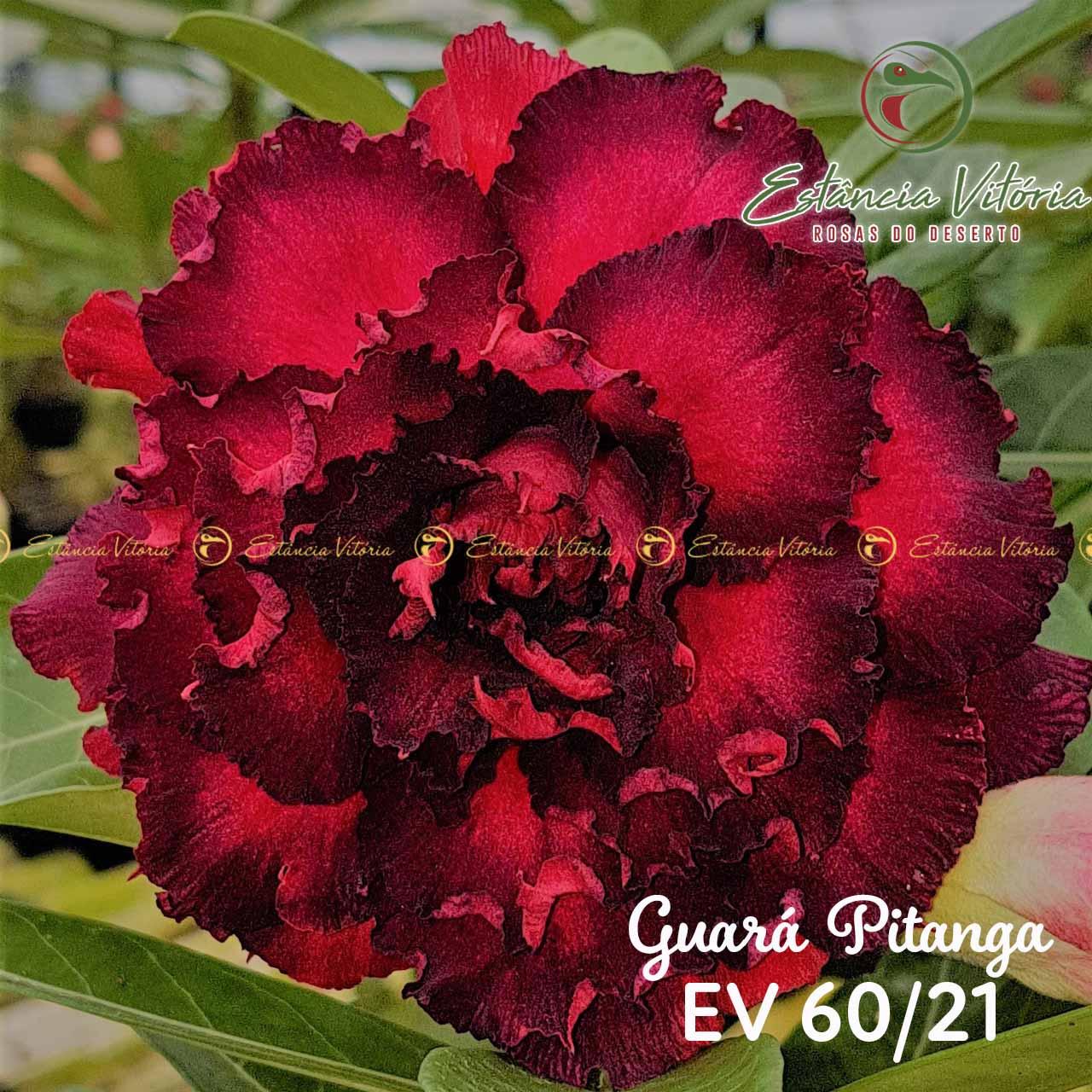 Muda de Rosa do Deserto Guará Pitanga EV-06021