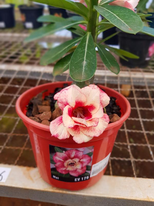Muda de Rosa do Deserto Mel EV-176