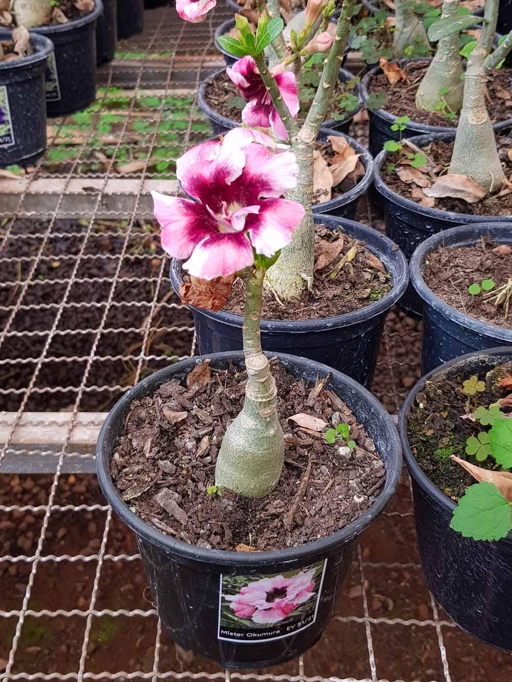 Muda de Rosa do Deserto Mister Okumura EV-05121