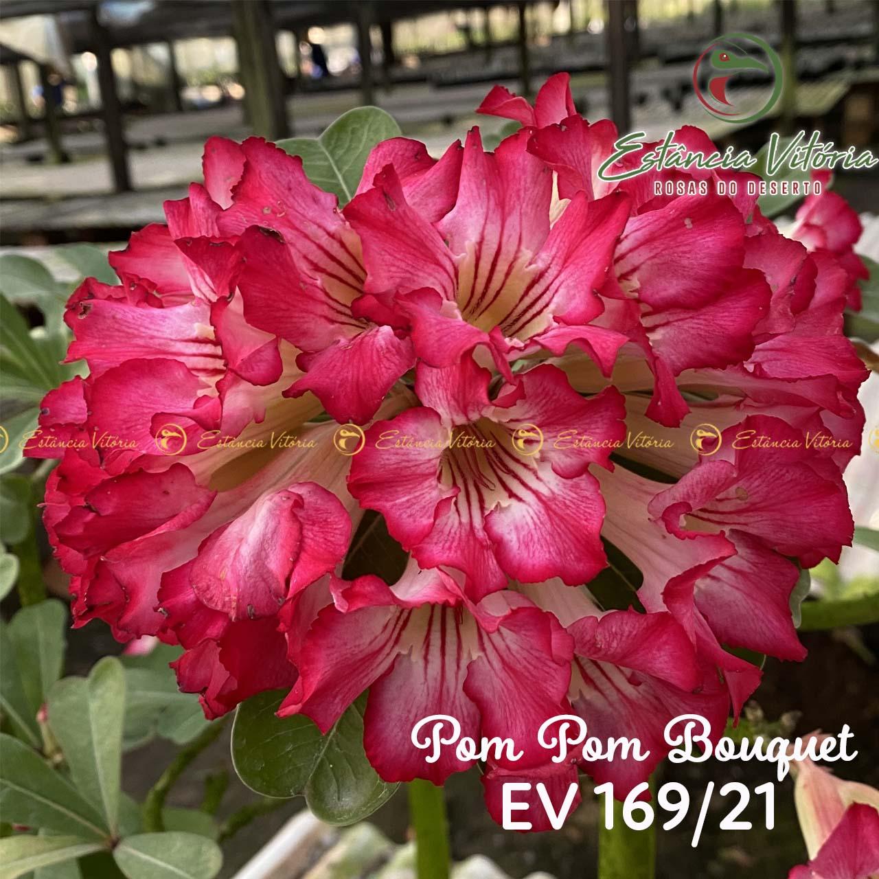 Muda de Rosa do Deserto Pom Pom Bouquet EV-16921