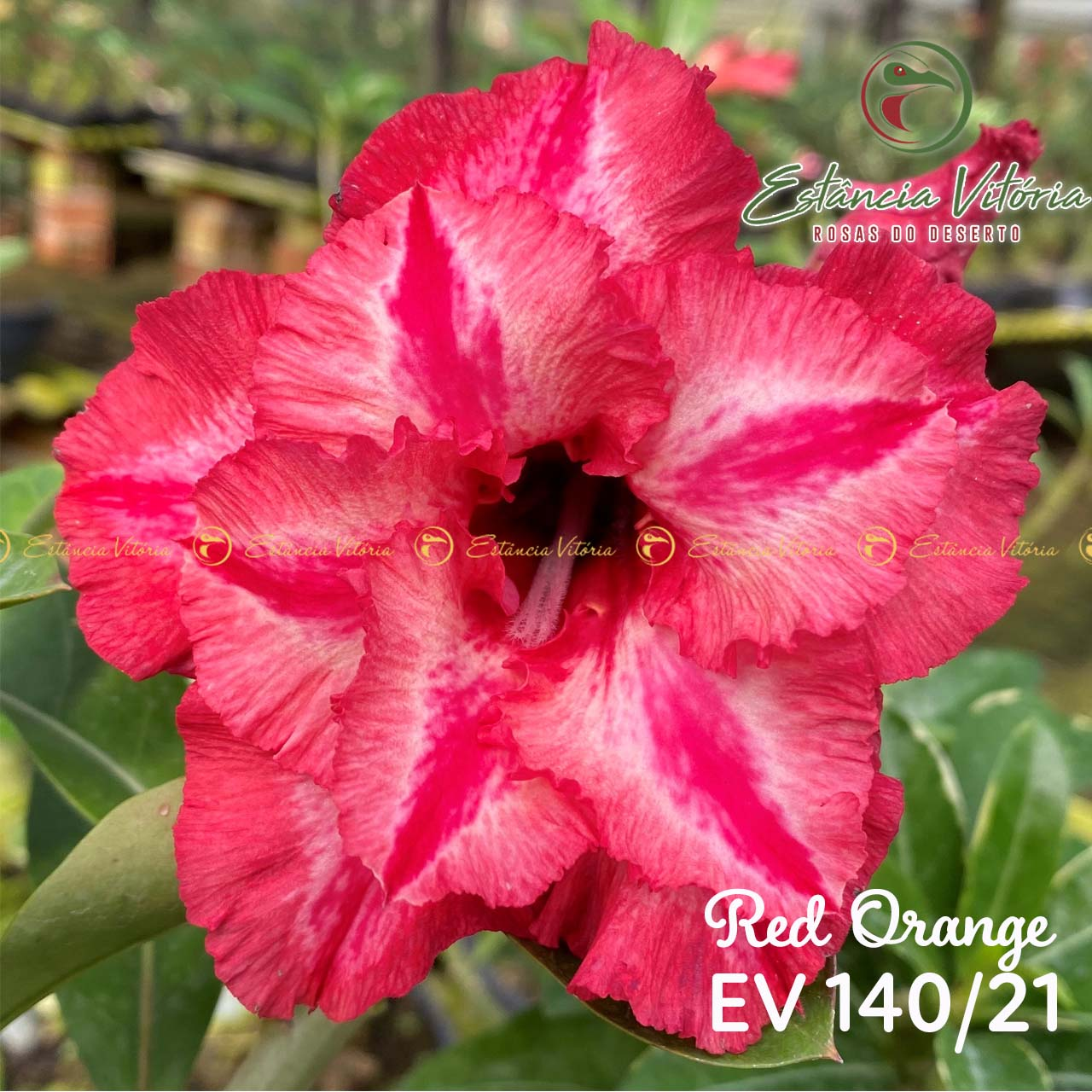 Muda de Rosa do Deserto Red Orange EV-14021