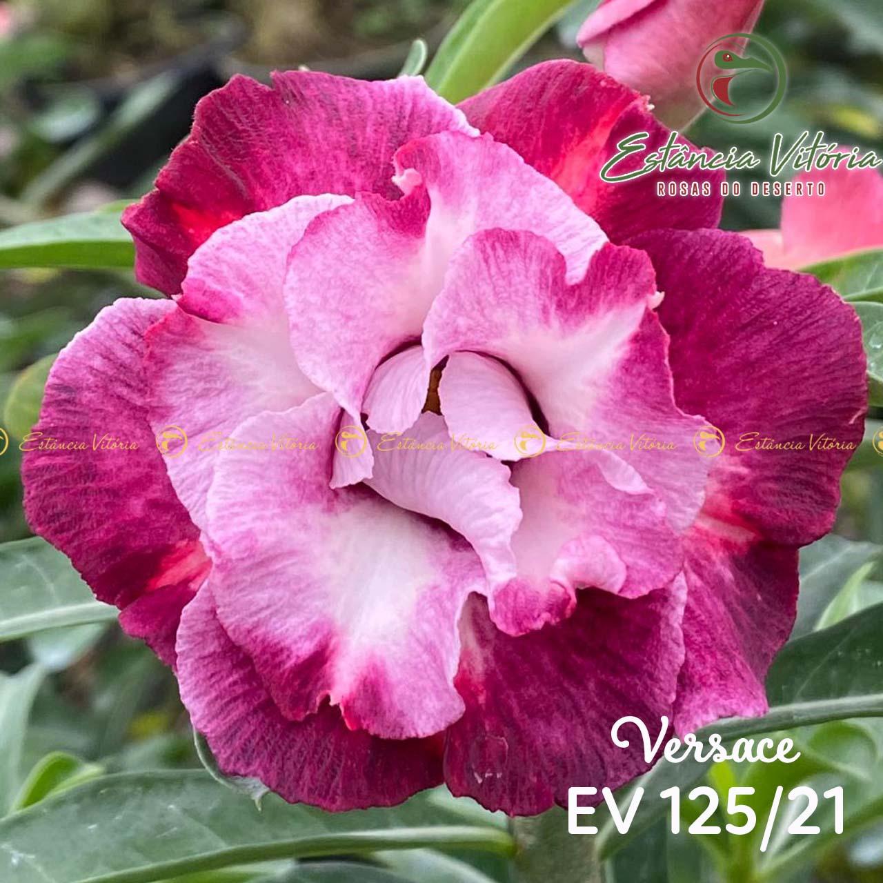 Muda de Rosa do Deserto Versace EV-12521