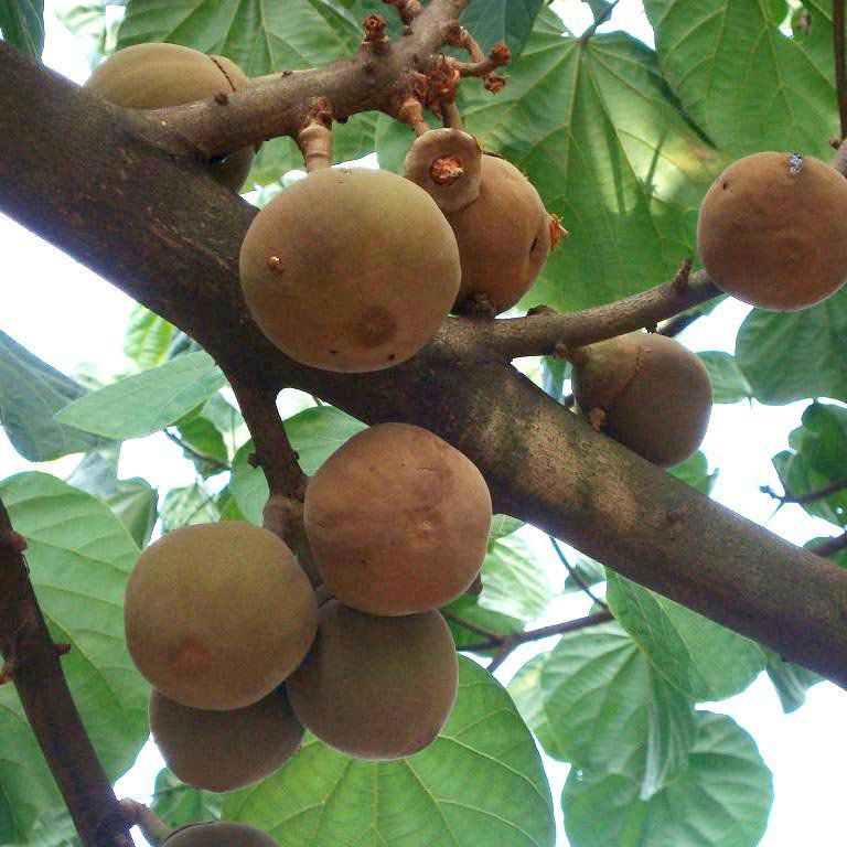 Muda de Sapota do Peru ou Sapota do Solimões feita de semente