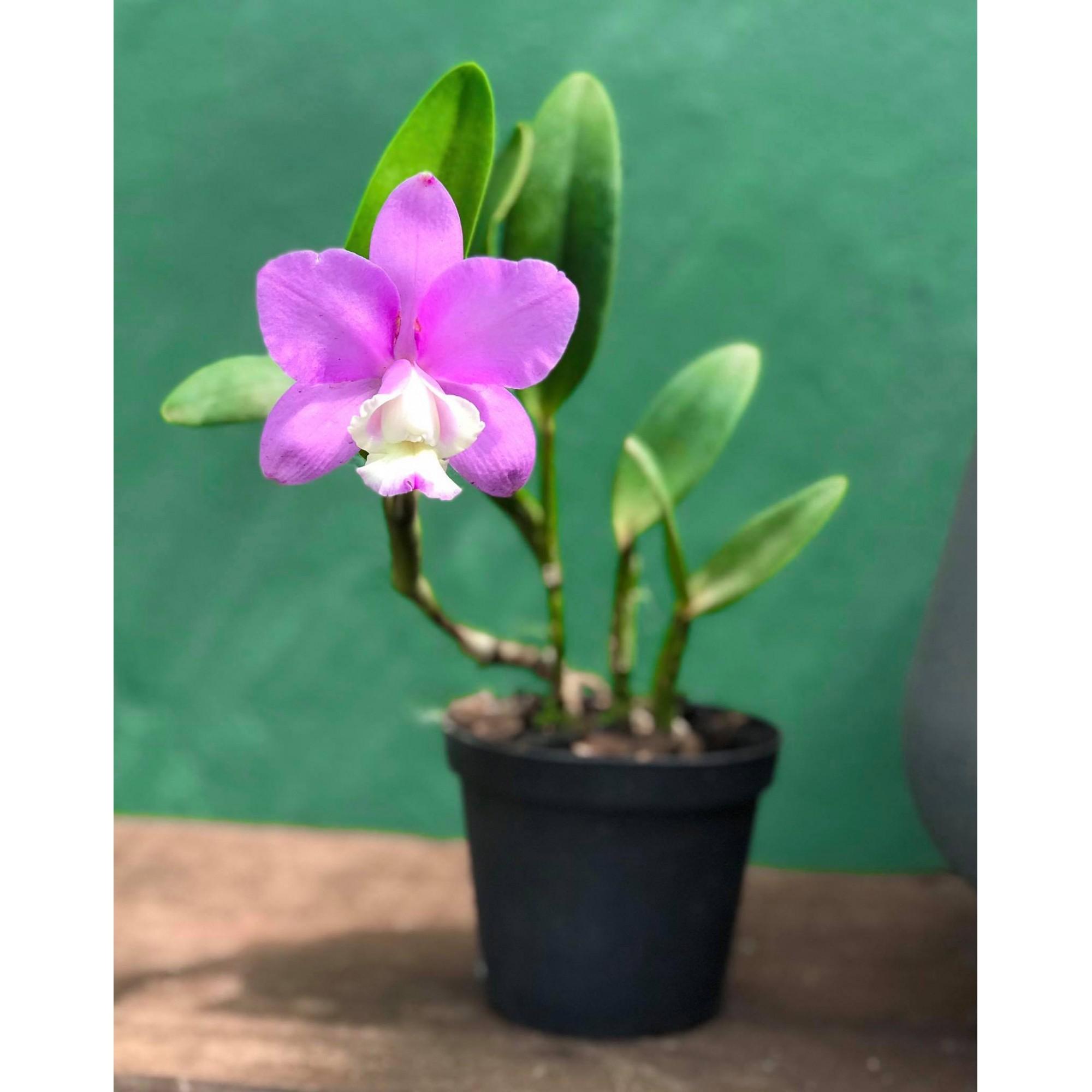 Orquídea C. Loddigesii trilabelo x C. walkeriana alba PL-6715 Semente
