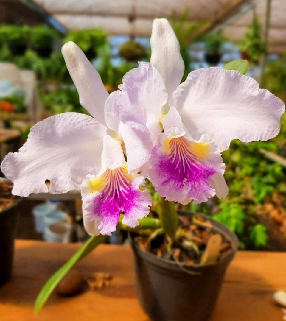 Orquídea C. luedemaniana coerulences x luedemaniana coerulea (Roberto) PL-7159