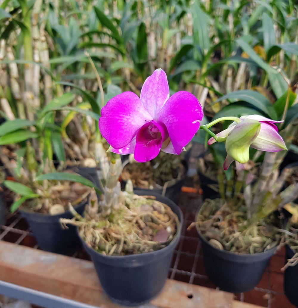Orquídea Denphal Florida para presente em cores sortidas
