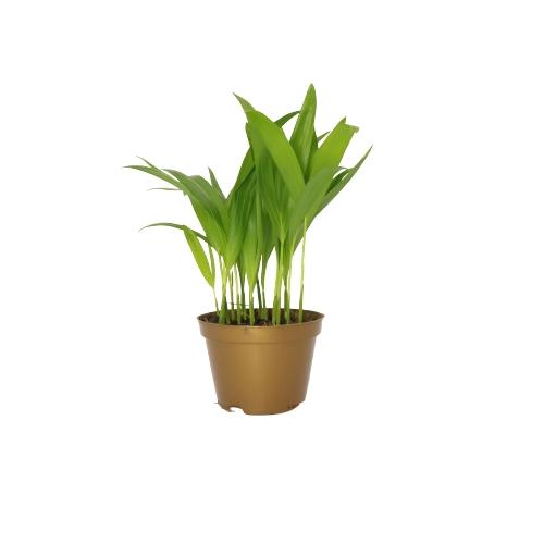 Palmeira Areca Bambu Pote 11