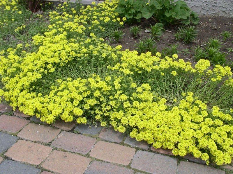 Sementes de Alyssum Perene Amarelo - Isla Multi